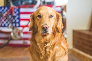 beautiful golden retriever sitting and posing with an american flag and bicycle in the background